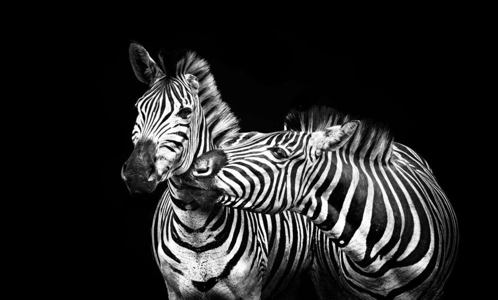 Duas zebras num fundo negro