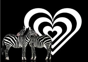 Duas zebras cruzadas com um fundo com negro e decorado com um coração de listras pretas e brancas.