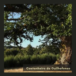 Castanheiro de Guilhefonso